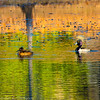 20131215-Ring-necked Ducks-0068-2