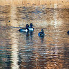 20131215-Ring-necked Ducks-0021_HDR