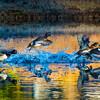 20131215-Ring-necked Ducks-0087-2