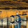 20131215-Ring-necked Ducks-0091