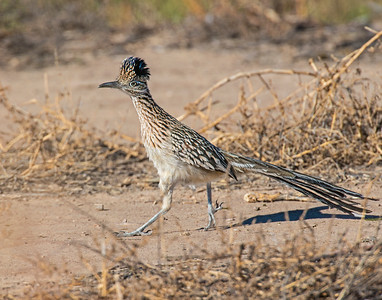 Road Runner, Bosque Del Apache National Wildlife Refuge, NM