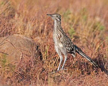 Roadrunner, Wichita Mountains Wildlife Refuge, OK