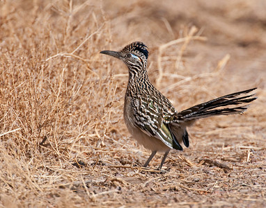 Roadrunner, Bosque Del Apach national Wildlife Refuge, NM