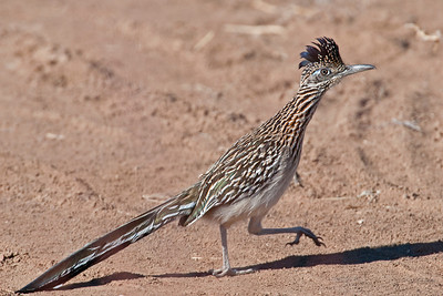 Road Runner, Bosque Del Apache Wildlife Refuge, New Mexico 2009