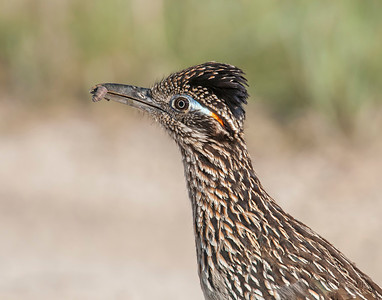 Roadrunner, Hagerman National Wildlife Refuge, Texas. To me, no other bird illustrates the Dinosaur-bird evolutionary relationship better.  Called this bird in closer using a recorded female Roadrunner call.