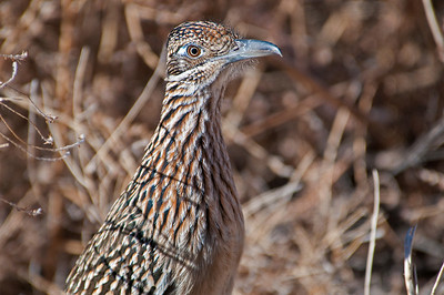 Road Runner, Bosque Del Apache Wildlife Refuge, New Mexico 2009
