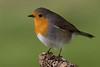 Robin (Erythacus rubecula)