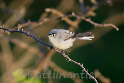 Blue-Gray Gnatcatcher