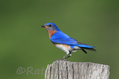 Eastern Bluebird ♂