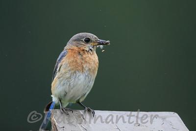 Eastern Bluebird ♀