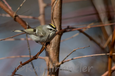 Golden-Crowned Kinglets
