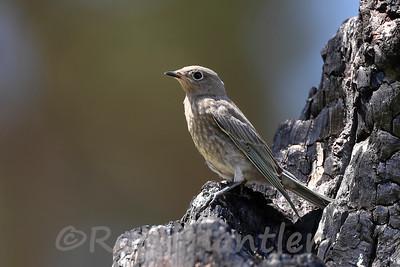 Mountain Bluebird - Juvenile