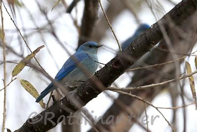Mountain Bluebird ♂