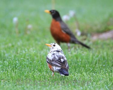 American Robin - Partial Leucistic