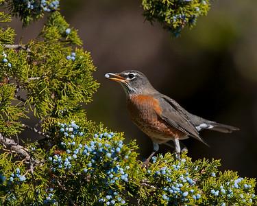American Robin, Wichita Mountains Wildlife Refuge, Oklahoma