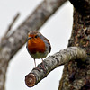 Robin in the Back Garden, Lydbrook