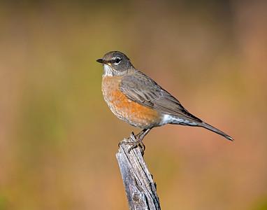 American Robin, Rocky Mountain National Park, CO