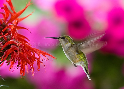 RJLM_WI  _84108  Ruby-Throated Humming Bird  2009-07