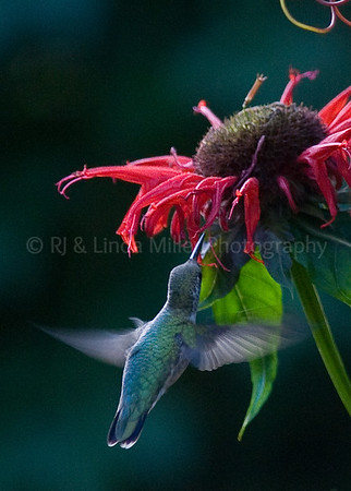 Ruby Throated Humming BIrd in Flight