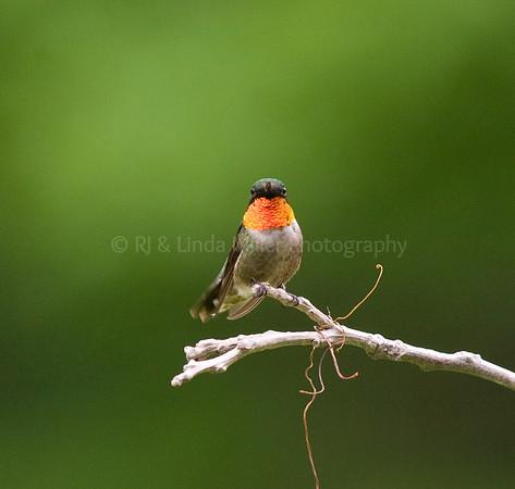 RJLM_WI  _84132  Ruby-Throated Humming Bird  2009-07