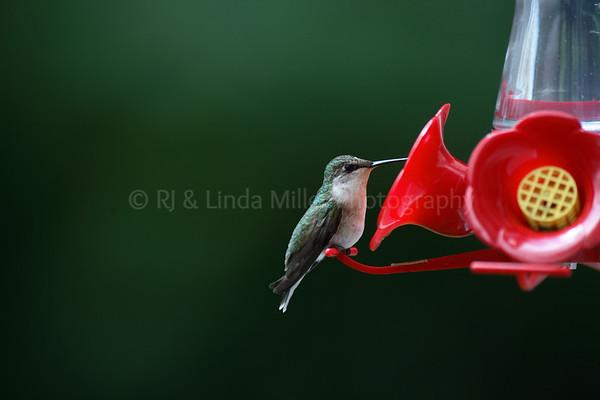 Ruby Throated Humming Bird, Archilochus colubris, North America, Summer