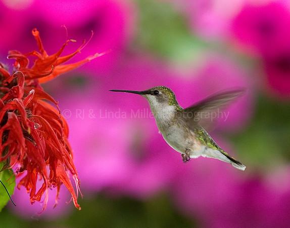 RJLM_WI  _84130  Ruby-Throated Humming Bird  2009-07