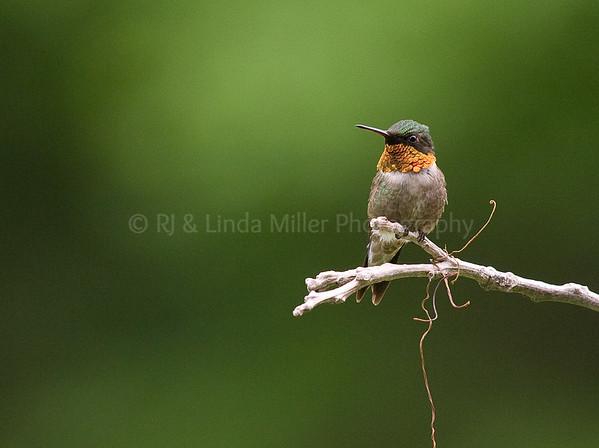 RJLM_WI  _84141  Ruby-Throated Humming Bird  2009-07