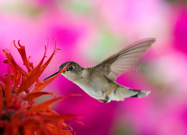 RJLM_WI  _84105  Ruby-Throated Humming Bird  2009-07