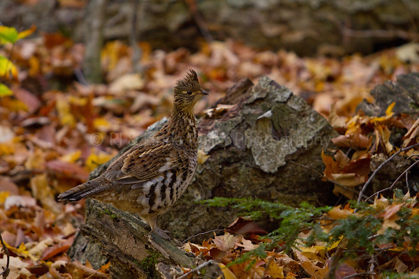 Ruffed Grouse in Forest