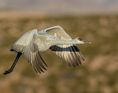 Sandhill Crane, Bosque Del Apache National Wildlife Refuge, NM