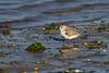 Sanderling- Correlimos tridáctilo (Calidris alba)