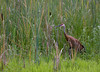 Sandhill Cranes in Swamp