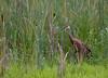 Sandhill Cranes in Swamp