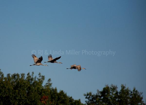 Sand Hill Cranes in Flight