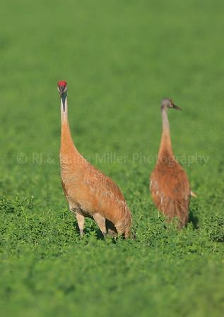 Sandhill Cranes, Grus canadensis, North America