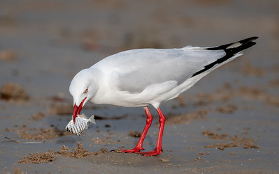 Silver Gull with fish at Lee Point