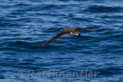 Shearwaters and Gannets