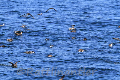 Great Shearwaters