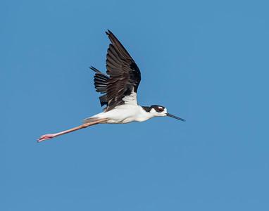 Black-necked Stilt, Hackberry Flats Wildlife Management Area, OK