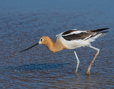 American Avocet, Hackberry Flats Wildlife Management Area, OK
