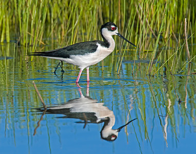 Black-necked Stilt, Hackberry Flats Wildlife Management Area, OK
