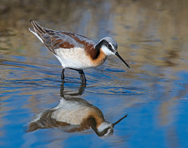 Wilson's Phalarope, Hackberry Flats Wildlife Management Area, OK
