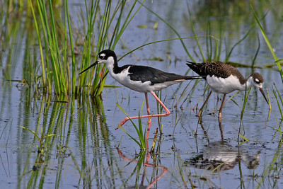 Black-Necked Stilt and Young