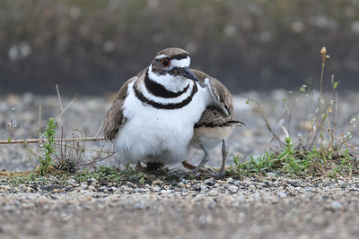 Killdeer with chicks