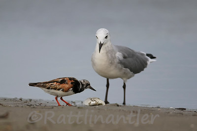 Ruddy Turnstone and Laughing Gull