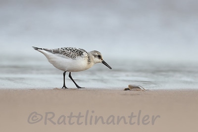 Sanderling with Soft-Shelled Turtle