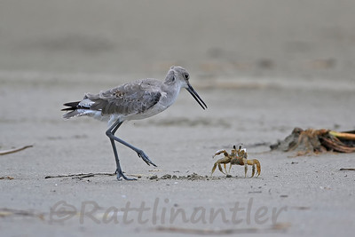 Willet and Sand Crab