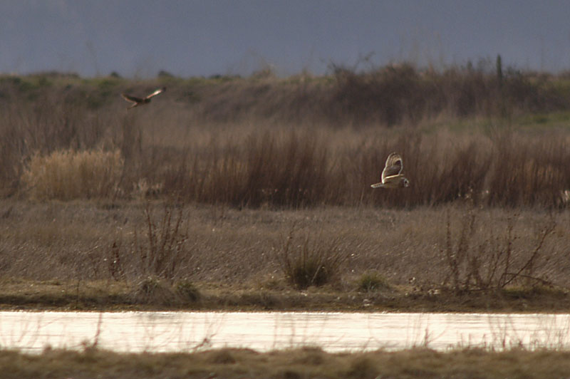 8880c Short-eared Owl and Northern Harrier