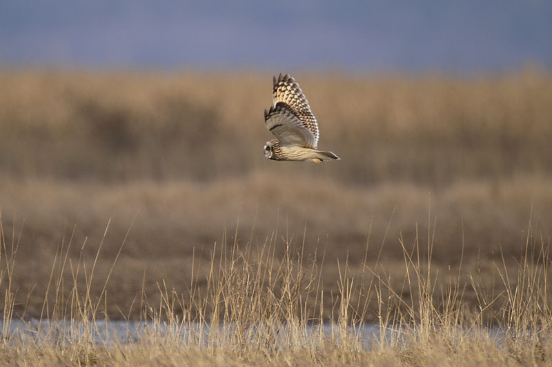 9304 Short-eared Owl flying