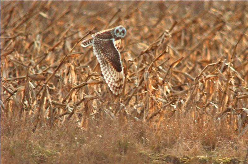 8899 Short-eared owl flying